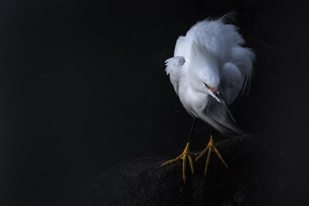 Snowy Egret #38